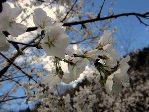 Pittsburgh Sakura Project 3
